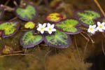 Floating-heart - Nymphoides cordata - pg# 150